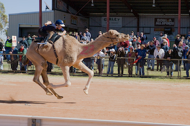 Camel and jockey Boulia Queensland  Australia